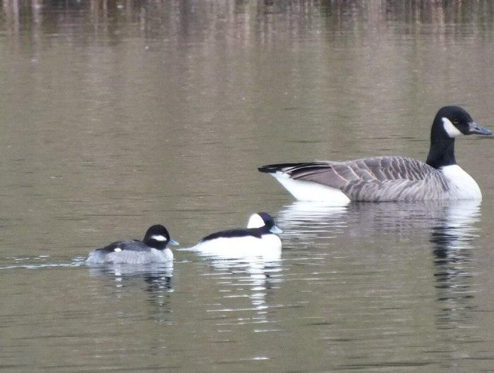 Bufflehead Ducks, male & female, Rouge National Park, Toronto