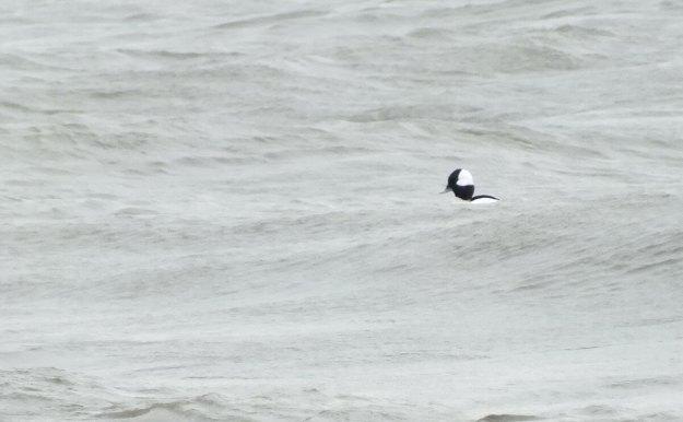Bufflehead duck floating on waves, Lake Ontario