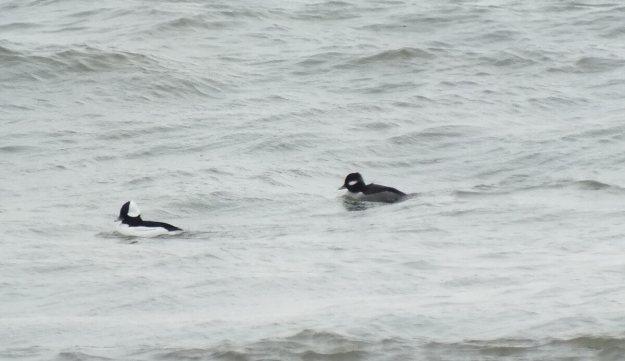 Buflehead ducks bob on the waves, Lake Ontario