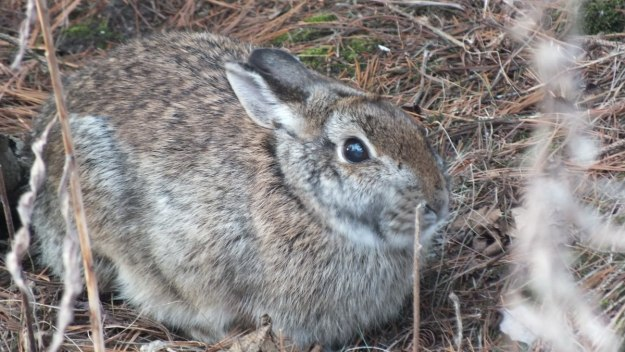 Cottontail Rabbit - Thickson's Woods - Whitby - Ontario