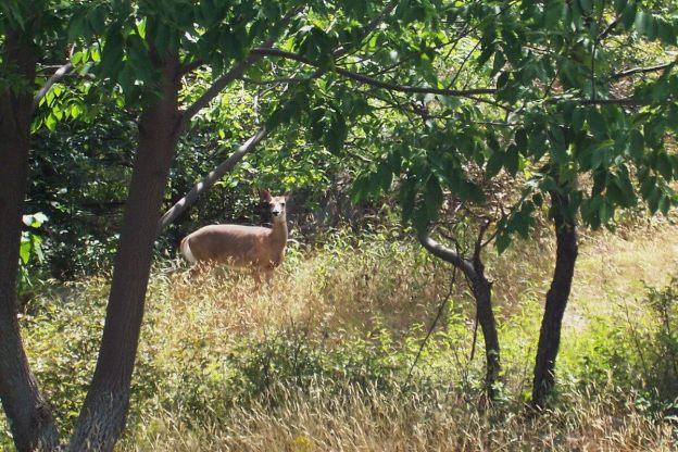 Deer in Frontenac Provincial Park - Ontario
