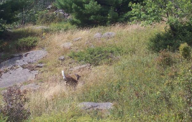 Deer racing across field - Frontenac Prov. Park