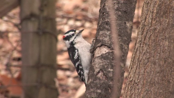 Downy Woodpecker at Lynde Conservation Area, Whitby, Ontario