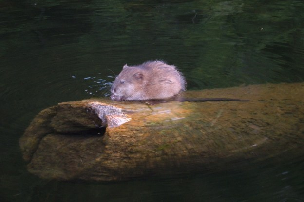 Jean spots a Muskrat sitting on log in river