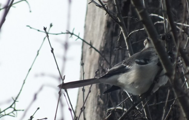 Northern Mockingbird in a tree at Thickson's Woods in Whitby, Ontario, Canada