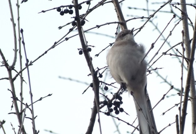 Northern Mockingbird beside berries in Thickson's Woods in Whitby, Ontario, Canada