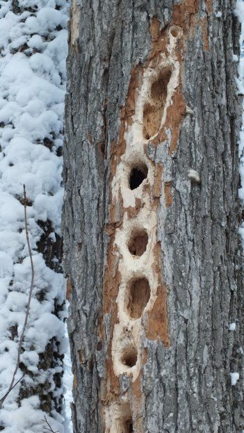 Pileated Woodpecker - holes in tree - Algonquin Park - Ontario - January 2013