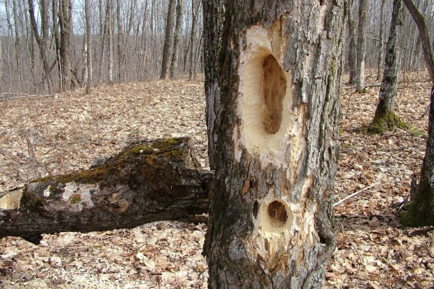 Pileated Woodpecker holes in tree