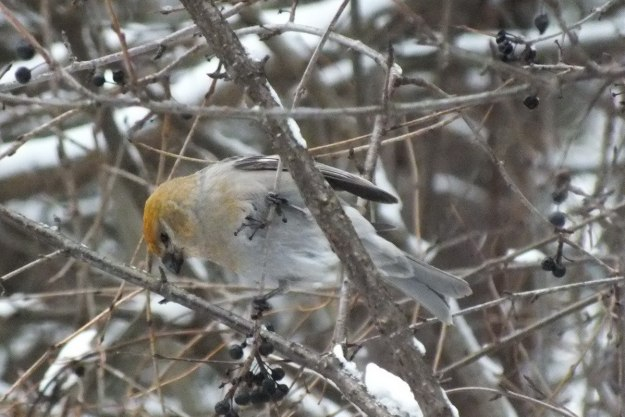 Pine Grosbeak (female) checks out wild berries
