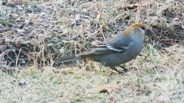 Pine Grosbeak (female) forages on ground - Oxtongue Lake