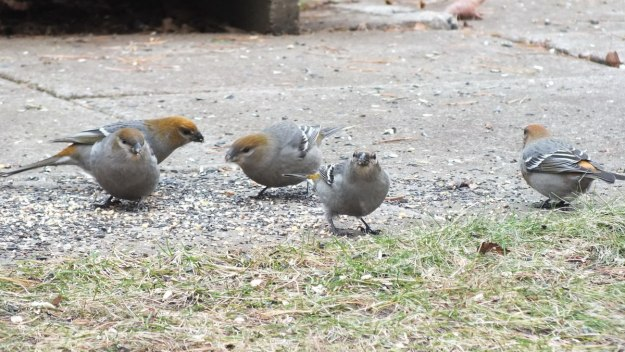 Pine Grosbeaks ground feed - Oxtongue Lake