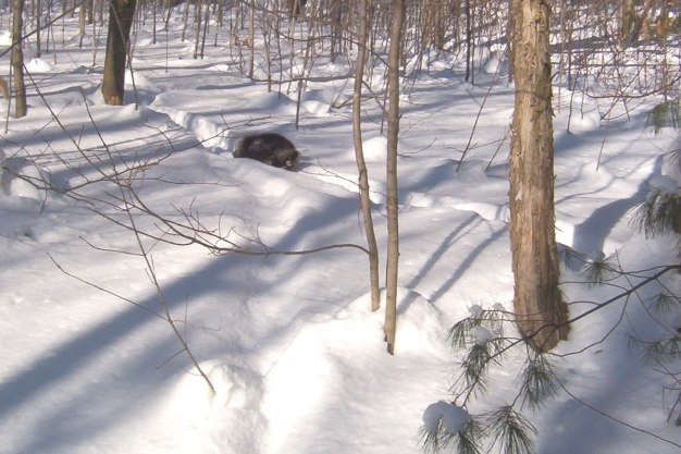 Porcupine walks on deer track toward us