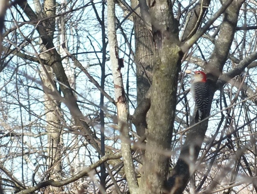 Red-bellied Woodpecker, male 1 - Lynde Shores Conservation Area, Whitby, Ontario