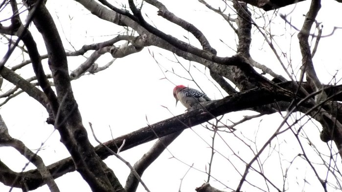 Red-bellied woodpecker looks down - Lynde Shores Conservation Area, Whitby, Ontario