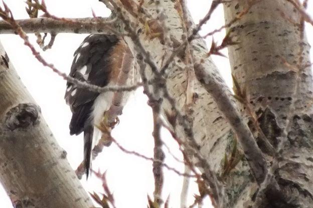 Sharp-shinned hawk - profile - Milliken Park - Toronto