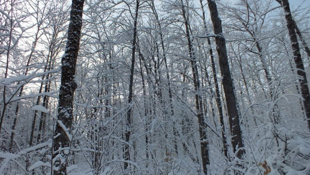Snowy forest in Algonquin Park