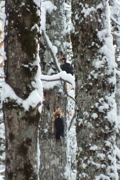 Two female Pileated Woodpeckers one above the other, Algonquin Park - January 2013