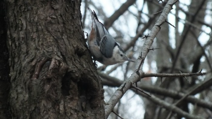 White- breasted nuthatch, Lynde Shores Conservation Area, Whitby, Ontario