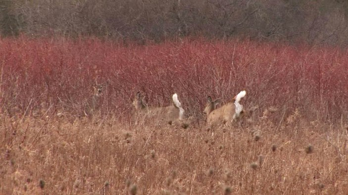 White-tailed deer on the run - Lynde Shores Conservation Area, Whitby, Ontario