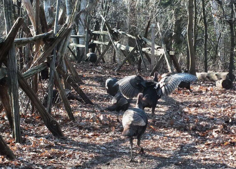 Wild Turkeys, Lynde Shores Conservation Area, Whitby, Ontario
