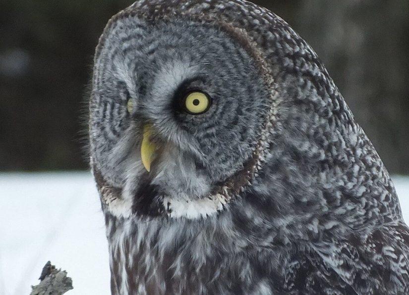 Great Grey Owl - closeup - Ottawa - Ontario - Canada - Frame To Frame - Bob & Jean picture