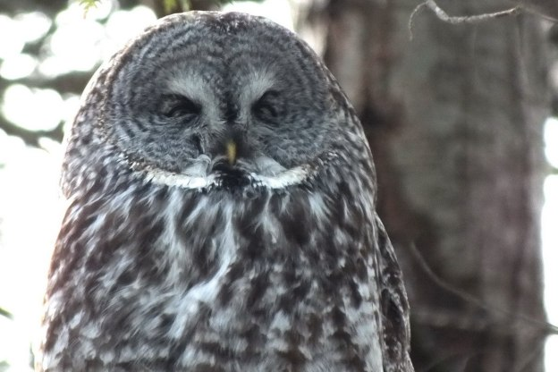 Great Grey Owl sleeps in a tree near Ottawa, Ontario, Canada