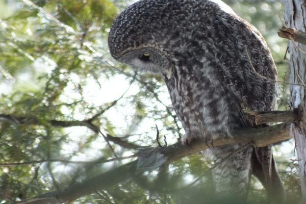 Great Grey Owl looks towards the ground beneath a tree near Ottawa, Ontario, Canada