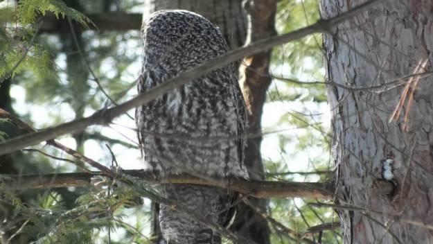 Great Grey Owl in tree near Ottawa