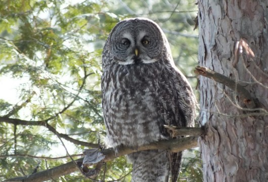 Great Grey Owl sitting in a tree near Ottawa, Ontario, Canada