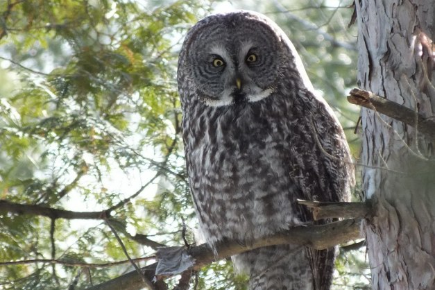 Great Grey Owl sitting on tree limb in a forest near Ottawa, Ontario, Canada
