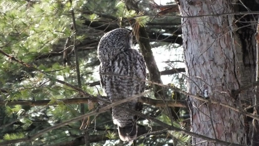 Great Grey Owl preens feathers 2 - Ottawa - Ontario - Canada - Frame To Frame - Bob & Jean picture