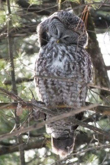 Great Grey Owl preens feathers 3 - Ottawa - Ontario - Canada - Frame To Frame - Bob & Jean picture