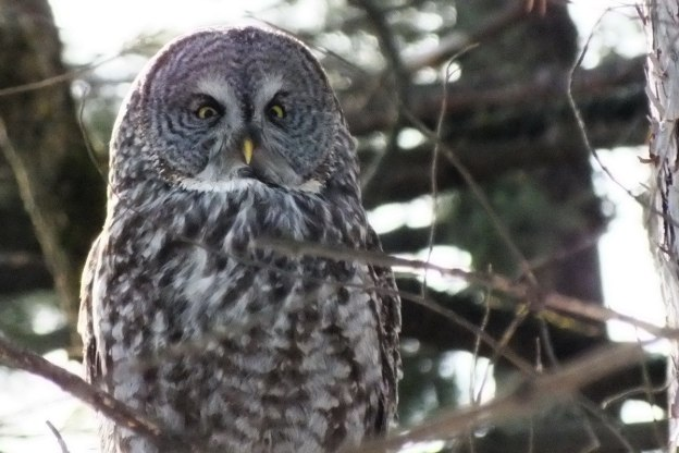 Great Grey Owl sitting in a forest near Ottawa, Ontario, Canada