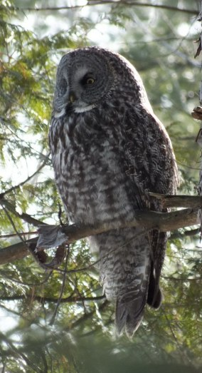 Great Grey Owl sits on tree limb near Ottawa, Ontario