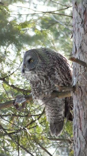 Great Grey Owl spots something on the ground near Ottawa, Ontario, Canada