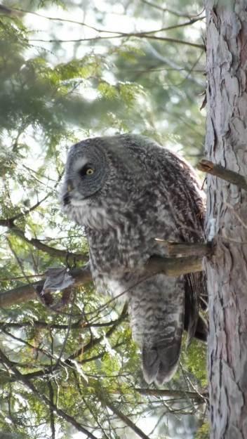 Great Grey Owl spots something on the ground near Ottawa, Ontario, Canada