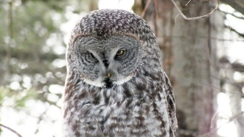 Great Grey Owl - spots something off to its right - Ottawa - Ontario - Canada - Frame To Frame - Bob & Jean picture
