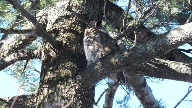 Great Horned Owl sleeping in tree - Thickson's Woods - Whitby - Ontario