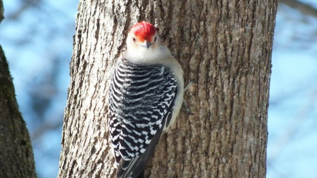 Red-bellied Woodpecker - gives me a big look - Lynde Shores - Whitby - Ontario