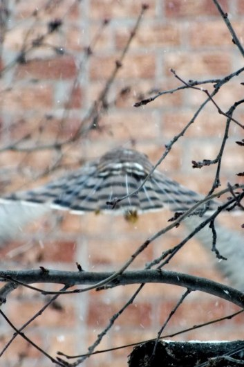 Sharp-shinned Hawk vanishing into falling snow in Toronto - Canada