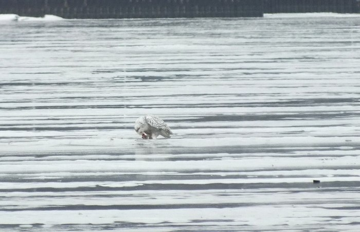 Snowy Owl - eating prey- Frenchman's Bay - Ontario - Canada