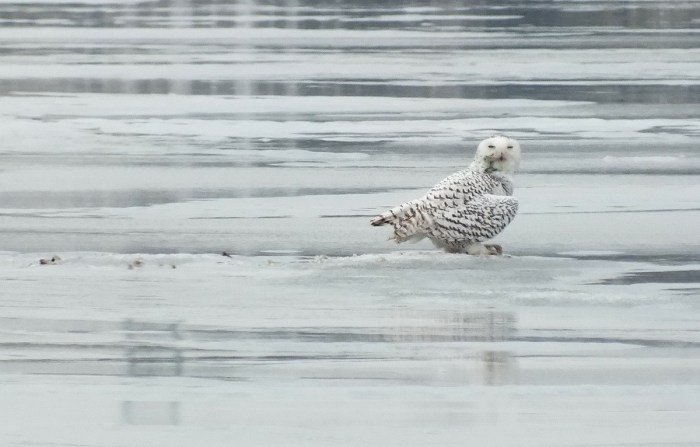 Snowy Owl gives me a lookover - Frenchman's Bay - Ontario - Canada