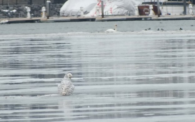 Snowy Owl on ice - Frenchman's Bay - Ontario - Canada