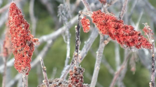 Staghorn Sumac Bracts near Ottawa, Ontario