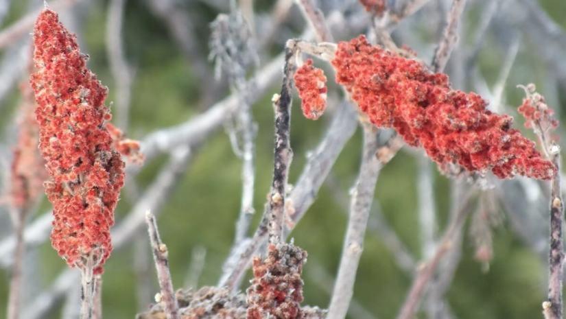 Staghorn Sumac Bracts near Ottawa