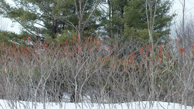 Staghorn Sumac by creek near Ottawa