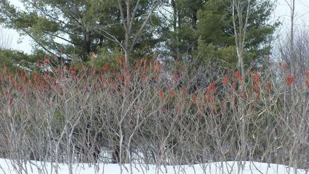 Staghorn Sumac by creek near Ottawa, Ontario