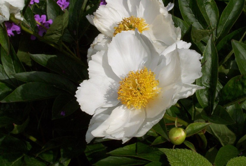 An image of white peonies growing in Claude Monet's garden in Giverny, France.