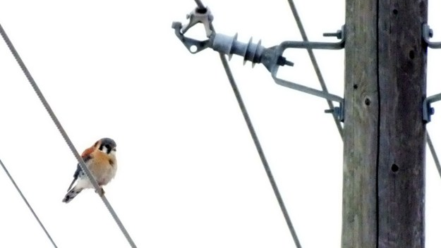 Photo of a colorful American Kestrel sitting on a power line in Whitby - Ontario