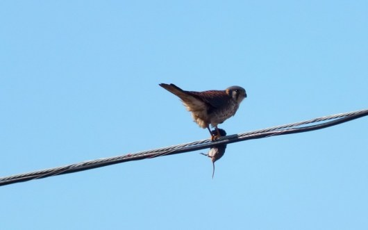 Photo of an American Kestrel eating a mouse on a power line in Whitby - Ontario